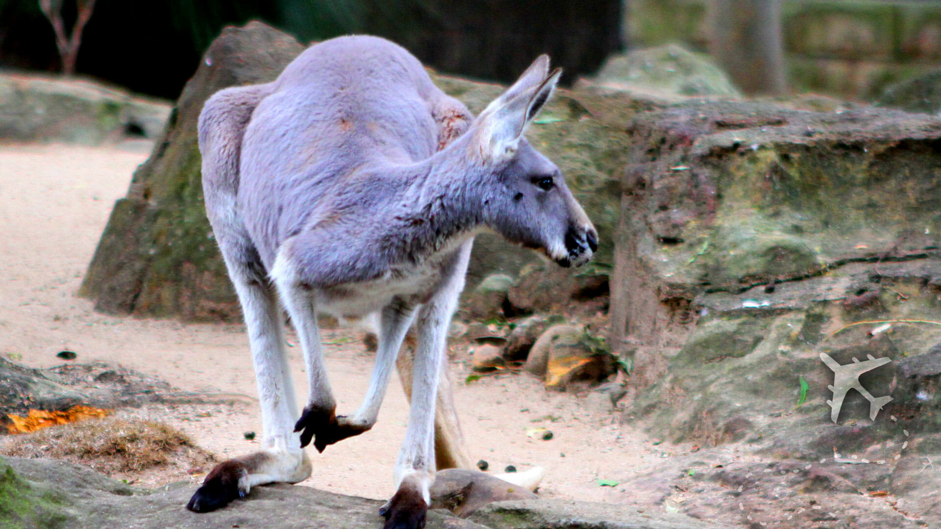 Australian Kangaroo in New South Wales